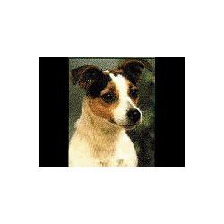 Jack Russell Terrier ruw...