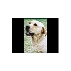 Labrador Retriever blond...
