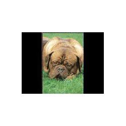 Bordeaux Dog Glossy kaart