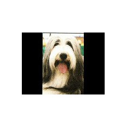 Bearded Collie Magneet